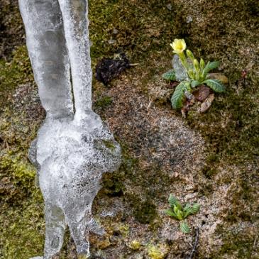 Stalattiti di ghiaccio e primule