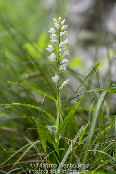 Cephalanthera longifolia, orchidea spontanea, Triangolo Lariano, Italia