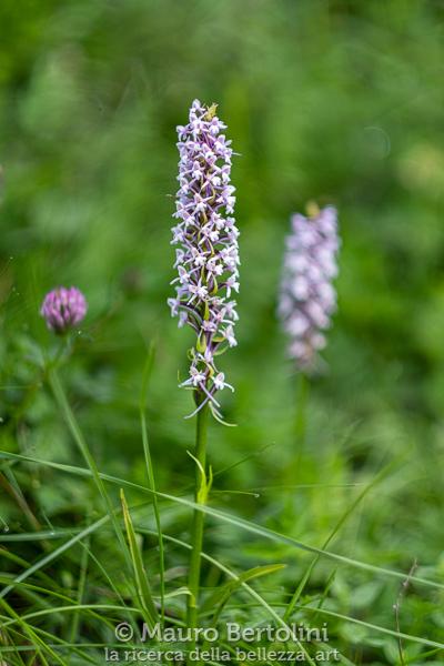 Gymnadenia conopsea, orchidea spontanea, Dolomiti, Italia