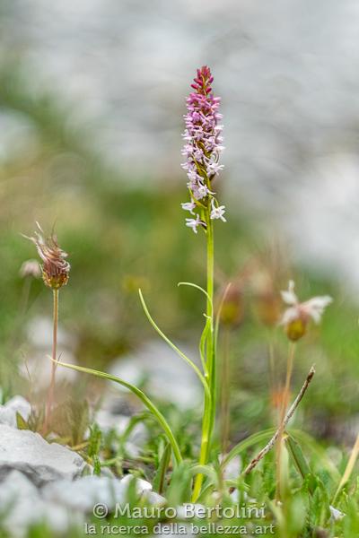 Gymnadenia odoratissima, orchidea spontanea, Dolomiti, Italia
